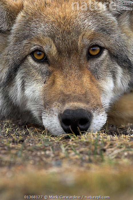 Eurasian / European / Forest Wolf (Canis lupus lupus) head portrait resting on ground. Mongolia, August., ASIA,CANIDAE,CANIDS,CARNIVORES,EXPRESSIONS,EYES,FACES,FULL FRAME,HEADS,LOOKING AT CAMERA,MAMMALS,MONGOLIA,PORTRAITS,VERTEBRATES,VERTICAL,WOLVES,Dogs, Mark Carwardine
