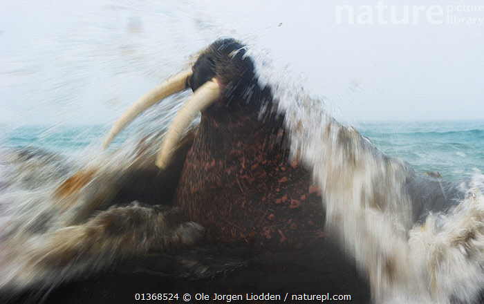 Walrus (Odobenus rosmarus) with waves splashing. Spitsbergen, Svalbard, August.  ,  animal head,ARCTIC,CARNIVORES,catalogue4,close up,effort,EUROPE,front view,horror,MAMMALS,MARINE,motion,motion blur,MOVEMENT,nightmare,Nobody,NORWAY,one animal,PINNIPEDS,resilience,spitsbergen,spitzbergen,splashing,Svalbard,Tusk,VERTEBRATES,WALRUSES,WATER,WAVES,WILDLIFE,Scandinavia  ,  Ole Jorgen Liodden