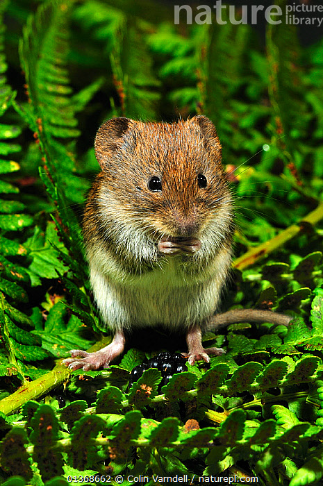 Harvest mouse (Micromys minutus soricinus) feeding on blackberry, captive, Dorset, UK, October, BEHAVIOUR,berries,Blackberries,blackberry,captive animal,catalogue4,close up,CUTE,Dorset,ENGLAND,EUROPE,FEEDING,frond,front view,full length,fure,holding,Hunger,leaf,MAMMALS,MICE,MURIDAE,Nobody,one animal,PORTRAITS,rodents,STANDING,timid,UK,VERTEBRATES,VERTICAL,WILDLIFE,United Kingdom, Colin Varndell