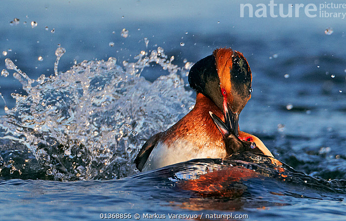 Horned / Slavonian grebe (Podiceps auritus) two individuals fighting in water, Finland May  ,  ACTION,AGGRESSION,BEHAVIOUR,BIRDS,catalogue4FN,close up,coastal,DOMINANCE,EUROPE,fierce,FIGHTING,Finland,GREBES,Nobody,pecking,Podicipedidae,SCANDINAVIA,sea,splashing,two,two animals,VERTEBRATES,WATER,water spray,WATERFOWL,WILDLIFE  ,  Markus Varesvuo