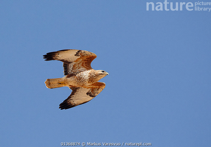 Steppe Buzzard in flight (Buteo buteo vulpinus) Israel March  ,  BIRDS,BIRDS OF PREY,FLIGHT,FLYING,HAWKS,ISRAEL,MIDDLE EAST,UNDERSIDE,VERTEBRATES,VERTICAL  ,  Markus Varesvuo