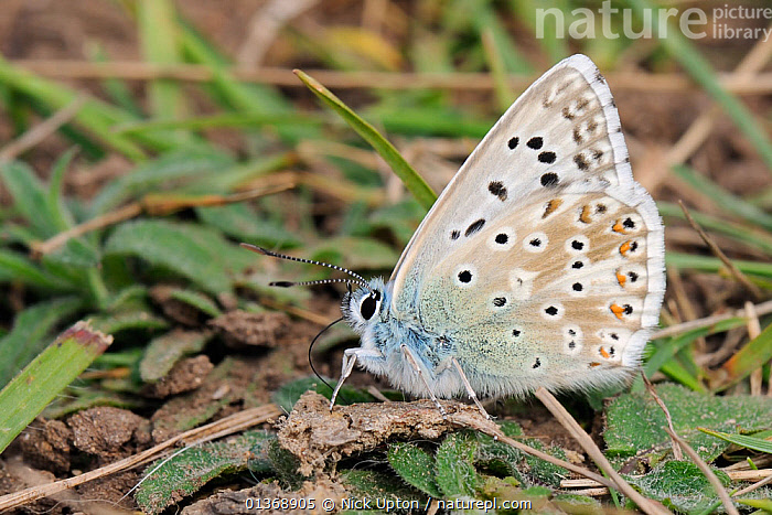 Male Chalkhill blue butterfly (Polyommatus coridon), a Near Threatened species in the UK, extracting salts from animal dung, chalk grassland meadow, Wiltshire, UK, July  ,  ARTHROPODS, BUTTERFLIES, eating, ENGLAND, EUROPE, FAECES, FEEDING, INSECTS, INVERTEBRATES, LEPIDOPTERA, MALES, profiles, SUMMER,United Kingdom  ,  Nick Upton