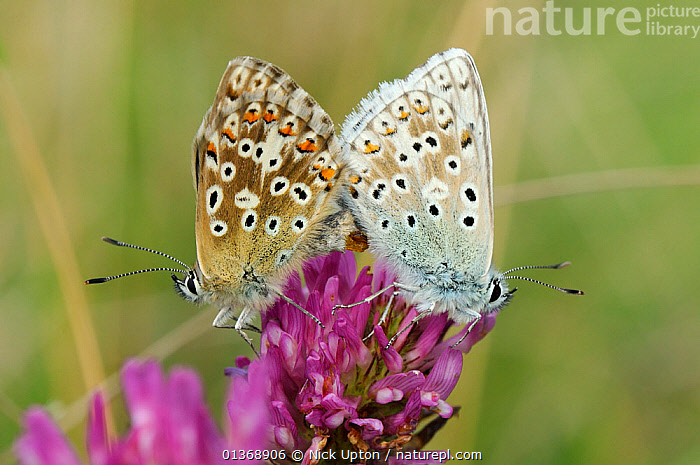 Chalkhill blue butterflies (Polyommatus coridon) mating on Red clover flower (Trifolium pratense), chalk grassland, Wiltshire, UK, July  ,  ARTHROPODS, BUTTERFLIES, COPULATION, ENGLAND, EUROPE, FEMALES, FLOWERS, INSECTS, INVERTEBRATES, LEPIDOPTERA, male female pair, MALES, mating, mating behaviour, Pair, PLANTS, sexual behaviour, SUMMER, two,Reproduction,United Kingdom  ,  Nick Upton
