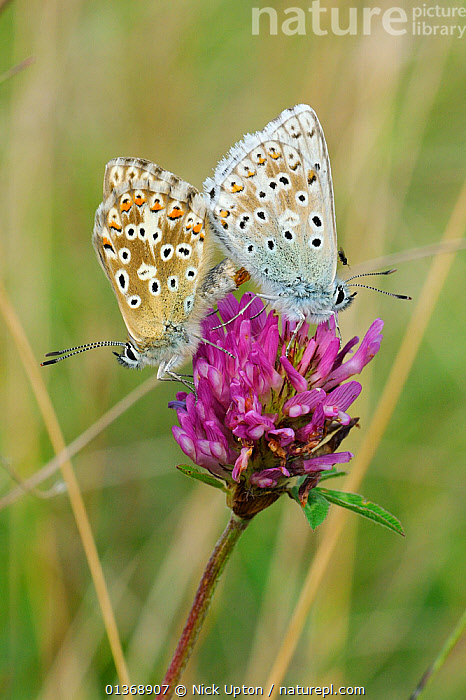 Chalkhill blue butterflies (Polyommatus coridon), mating on Red clover flower (Trifolium pratense) with phoretic Chalcidoid wasp (Eulophidae; Tetrastichinae) a parasitoid of butterfly eggs, riding on wings of male, chalk grassland, Wiltshire, UK, July.  ,  ARTHROPODS, BEHAVIOUR, British, BUTTERFLIES, COPULATION, ENGLAND, EUROPE, FEMALES, FLOWERS, INSECTS, INVERTEBRATES, LEPIDOPTERA, MALES, mating behaviour, mixed species, Pair, PARASITES, PLANTS, SUMMER, two, VERTICAL, WASPS,Reproduction,United Kingdom  ,  Nick Upton