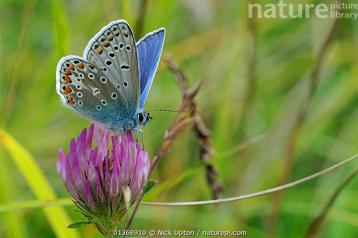 Male Common blue butterfly (Polyommatus icarus) on Red clover flower (Trifolium pratense), chalk grassland meadow, Wiltshire, UK, July.  ,  ARTHROPODS,BLUE,BRITISH,BUTTERFLIES,ENGLAND,EUROPE,FLOWERS,INSECTS,INVERTEBRATES,LEPIDOPTERA,MALES,PLANTS,PORTRAITS,SUMMER,United Kingdom  ,  Nick Upton