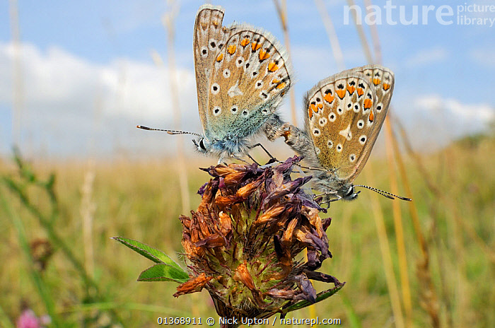 Common blue butterflies (Polyommatus icarus) mating on old Red clover flowerhead (Trifolium pratense), chalk grassland meadow, Wiltshire, UK, August.  ,  ARTHROPODS,BEHAVIOUR,BLUE,BRITISH,BUTTERFLIES,CLOSE UPS,CLOSE UPS,COPULATION,ENGLAND,EUROPE,FEMALES,FLOWERS,INSECTS,INVERTEBRATES,LEPIDOPTERA,MALE FEMALE PAIR,MALES,MATING BEHAVIOUR,PAIR,PLANTS,SUMMER,TWO,Reproduction,United Kingdom  ,  Nick Upton