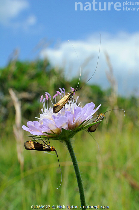 Three male Brassy longhorn moths (Nemophora metallica) gathered on flowerhead of Field scabious (Knautia arvensis), between bouts of group display flying, chalk grassland, UK, July.  ,  ADELIDAE, BEHAVIOUR, COURTSHIP, DIPSACACEAE, ENGLAND, EUROPE, FLOWERS, GROUPS, INSECTS, INVERTEBRATES, LEPIDOPTERA, MALES, MOTHS, PINK, PLANTS, UK, VERTICAL,United Kingdom  ,  Nick Upton