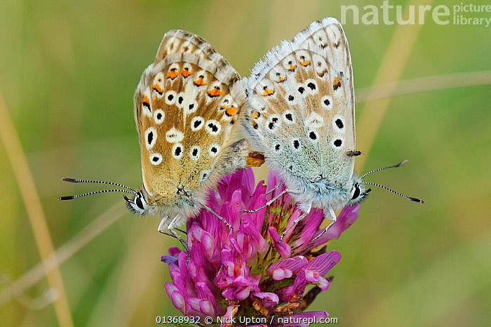 Chalkhill blue butterflies (Polyommatus coridon), mating on Red clover flower (Trifolium pratense) with phoretic Chalcidoid wasp (Eulophidae; Tetrastichinae) a parasitoid of butterfly eggs, riding on wings of male, chalk grassland, Wiltshire, UK, July.  ,  ARTHROPODS, BEHAVIOUR, British, BUTTERFLIES, COPULATION, ENGLAND, EUROPE, FEMALES, FLOWERS, INSECTS, INVERTEBRATES, LEPIDOPTERA, male female pair, MALES, mating behaviour, mixed species, Pair, PARASITES, parasitoids, PLANTS, TINY, two, WASPS,Reproduction,United Kingdom  ,  Nick Upton