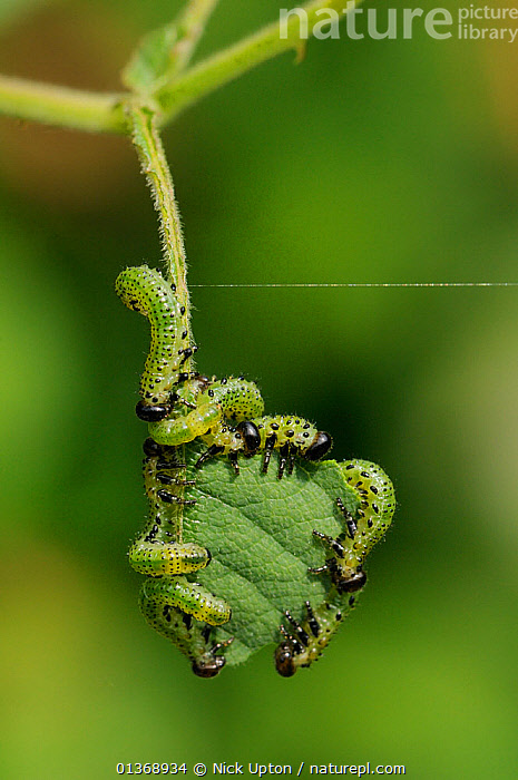 Group of Large rose sawfly larvae (Arge pagana) feeding on young Rose leaves (Rosa sp.), Wiltshire garden, UK, August. . Property released.  ,  ARTHROPODS,BEHAVIOUR,CATERPILLARS,CHEWING,CO ORDINATED,ENGLAND,EUROPE,FEEDING,GROUPS,HYMENOPTERA,IMMATURE,INSECTS,INVERTEBRATES,JUVENILES,PESTS,PLANTS,SAWFLIES,VERTICAL,United Kingdom  ,  Nick Upton