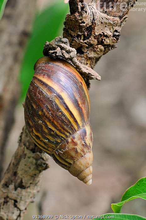 Giant African Land Snail (Achatina fulica) on a branch. Guandu, Taiwan, September.  ,  ASIA,BROWN,EAST ASIA,GASTROPODS,INVERTEBRATES,MOLLUSCS,PESTS,SHELLS,SNAILS,TAIWAN,VERTICAL  ,  Nick Upton