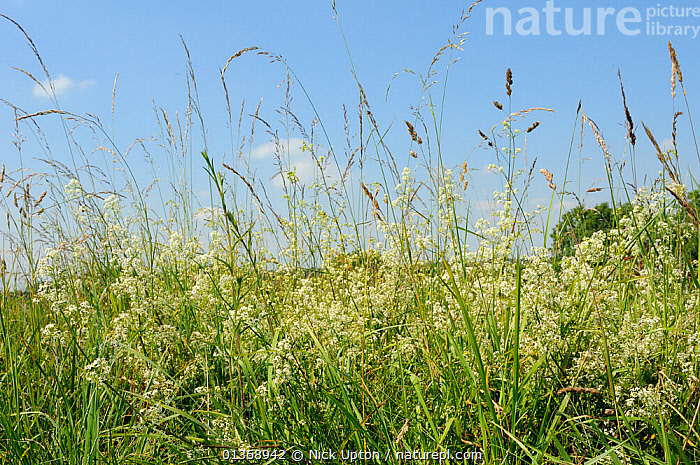 Dense stand of Hedge Bedstraw (Galium mollugo) flowering in chalk grassland meadow among tall grasses. Wiltshire, UK, July.  ,  DICOTYLEDONS,ENGLAND,EUROPE,GRASSES,HEDGEROWS,MEADOWLAND,MIXED SPECIES,PLANTS,RUBIACEAE,UK,WILTSHIRE,Grassland,United Kingdom  ,  Nick Upton
