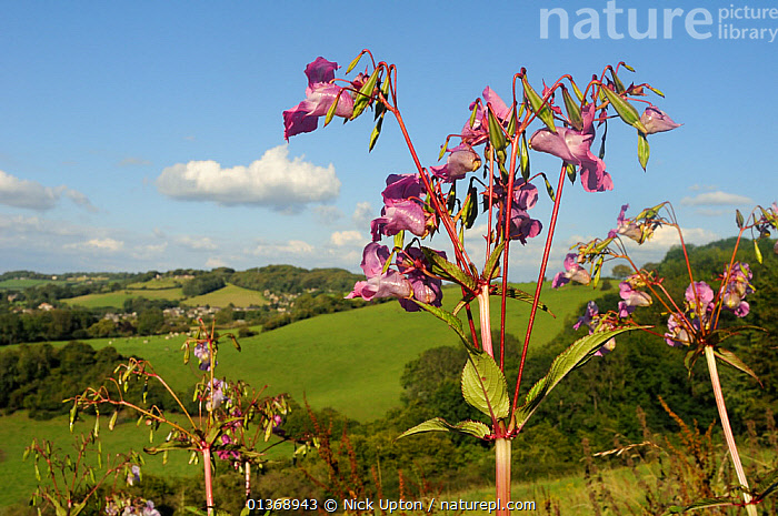 Himalayan / Indian Balsam (Impatiens glandulifera) plants with flowers and seed pods growing in damp hillside pastureland. Box, Wiltshire, UK, August.  ,  COUNTRYSIDE,ENGLAND,EUROPE,FLOWERS,GRASSLAND,HILLSIDE,LANDSCAPES,MEADOWLAND,SUMMER,UK,WILTSHIRE,United Kingdom  ,  Nick Upton