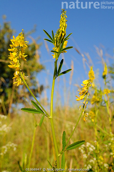 Ribbed / Common / Yellow Meliot / Yellow Sweet Clover (Melilotus officinalis) flowering. Wiltshire, UK, July.  ,  DICOTYLEDONS,ENGLAND,EUROPE,FABACEAE,FLOWERS,GRASSES,GRASSLAND,LEGUME,MEADOWLAND,PLANTS,UK,VERTICAL,WILTSHIRE,YELLOW,United Kingdom  ,  Nick Upton