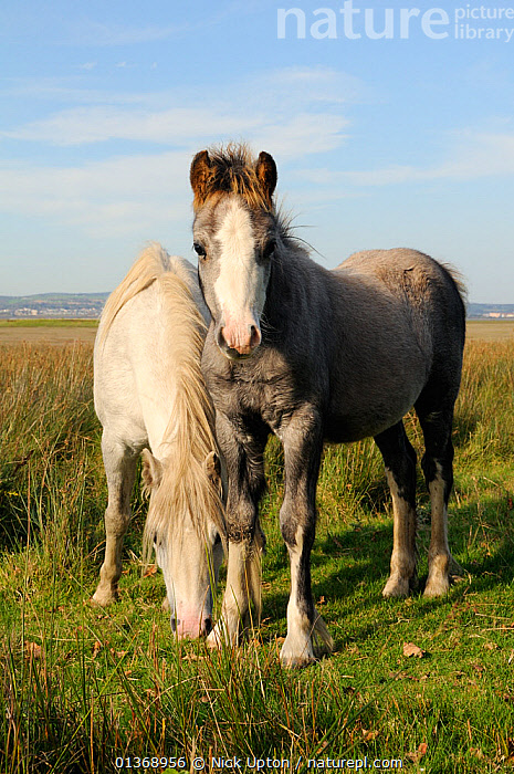 Welsh mountain Ponies (Equus caballus) grazing pastureland fringing Llanrhidian salt marshes. The Gower Peninsula, Wales, UK, September.  ,  FRIENDS,GOWER,GRASSLAND,GRAZING,GREY,HORSES,LOOKING AT CAMERA,MAMMALS,PERISSODACTYLA,PONY,PORTRAITS,TWO,UK,VERTEBRATES,VERTICAL,WALES,WHITE,Europe,United Kingdom,Equines  ,  Nick Upton