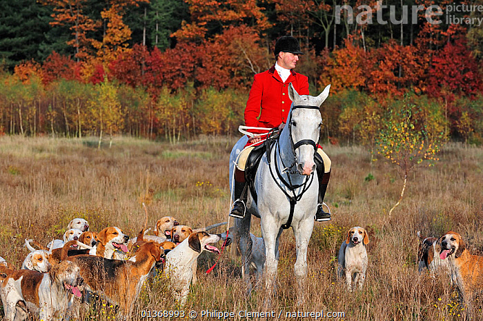Hunter on horseback with pack of hounds during drag hunting in autumn, an alternative to fox hunting, Europe