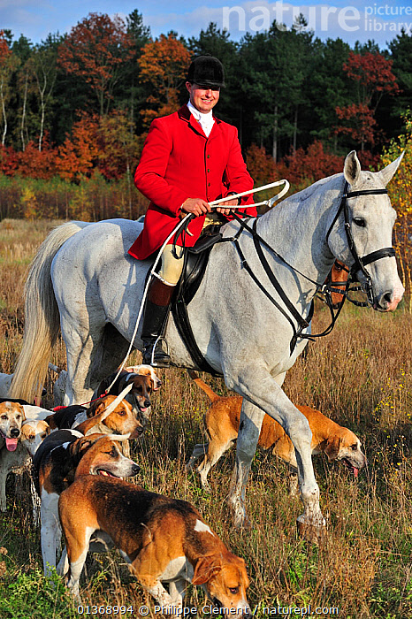 Hunter on horseback with pack of hounds during drag hunting in autumn, an alternative to fox hunting, Europe October 2011  ,  DOGS,GROUPS,HORSES,HOUNDS,HUNTING,LEISURE,MAMMALS,MIXED SPECIES,PACKS,PEOPLE,SPORT,VERTICAL  ,  Philippe Clement