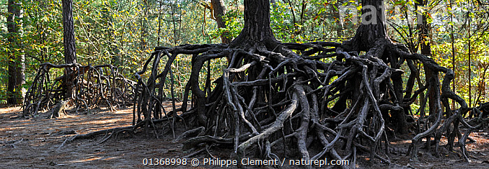 Exposed roots of pine trees due to soil erosion in forest, Belgium  ,  ANORAMIC,ENVIRONMENTAL,ERODED,EROSION,EUROPE,ROOTS,SOIL,TREES,WOODLANDS,PLANTS  ,  Philippe Clement