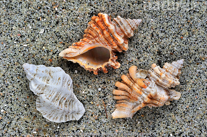 Sting winkle / Oyster drill / Hedgehog Murex (Ocenebra erinacea) shells on beach, Brittany, France  ,  BEACHES, EUROPE, FRANCE, GASTROPODS, INVERTEBRATES, MARINE, MOLLUSCS, sand, SEASHELLS, shapes, shells, SNAILS, spiral, TEMPERATE, THREE,Bivalve  ,  Philippe Clement