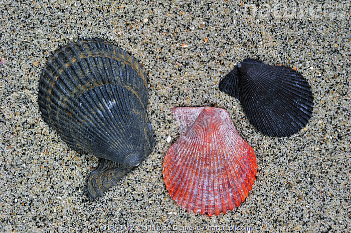 Variegated scallop (Chlamys / Mimachlamys varia) shells on beach, Brittany, France  ,  BEACHES, BIVALVES, EUROPE, FRANCE, INVERTEBRATES, MARINE, MOLLUSCS, sand, SCALLOPS, SEASHELLS, shapes, shells, TEMPERATE, THREE  ,  Philippe Clement