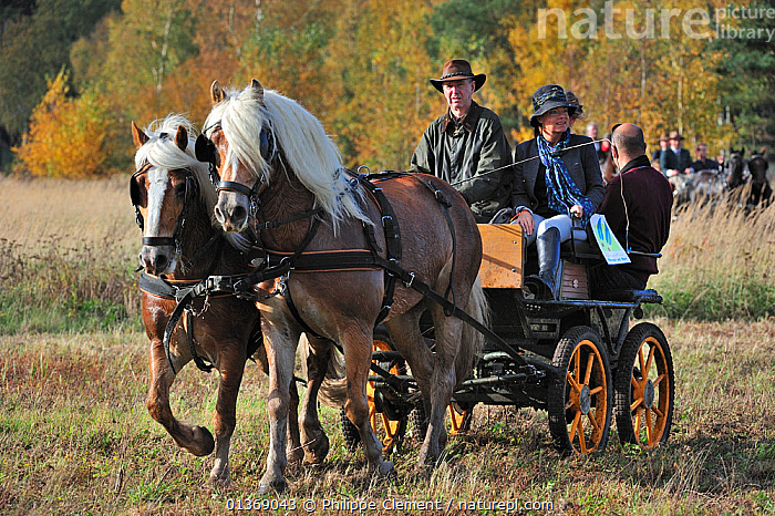 Horse drawn wagon at drag hunting demonstration in autumn, Belgium