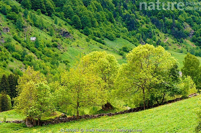 Bujaruelo (Bucharro) /  Gavarnie Port, hillside rural view. Pyrenees. France, June 2011.  ,  EUROPE,FRANCE,GRASS,GREEN,HILLS,IBERIA,LANDSCAPES,PYRENEES,RURAL,TREES,UPLANDS,Plants  ,  Inaki Relanzon