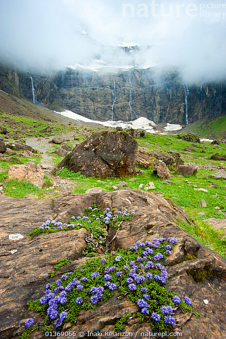 Tiny creeper (Globularia repens) growing on rock with Gavarnie Falls in the background, Pyrenees, France, June 2011.  ,  ALPINE,BLUE,catalogue4,Cirque de Gavarnie,CLIFFS,CLOUDS,DICOTYLEDONS,EUROPE,FLOWERS,FRANCE,Gavarnie Falls,GEOLOGY,GLOCULARIACAEA,HABITAT,LANDSCAPES,meteorology,MIST,MOUNTAINS,Mountainside,nature,Nobody,plantlife,PLANTS,pyrenees,resilience,rock,ROCKS,SNOW,VERTICAL,WATER,WATERFALLS,Wildflower,Weather  ,  Inaki Relanzon