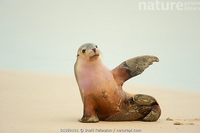 Australian Sea Lion (Neophoca cinerea) sitting on beach with one flipper up, Seal Bay Conservation Park, Kangaroo Island, South Australia State, Australia.  ,  AUSTRALASIA,AUSTRALIA,beach,BEACHES,BEHAVIOUR,CARNIVORES,catalogue4,COMMUNICATION,Conservation Park,copyspace,effort,ENDANGERED,flipper,friendly,front view,full length,gesturing,happy,HUMOROUS,Kangaroo Island,MAMMALS,MARINE,Nobody,one animal,PINNIPEDS,sand,Seal Bay,SEALIONS,SITTING,south australia,South Australian State,VERTEBRATES,waving,WILDLIFE,Concepts,,Exhausted,  ,  Inaki Relanzon