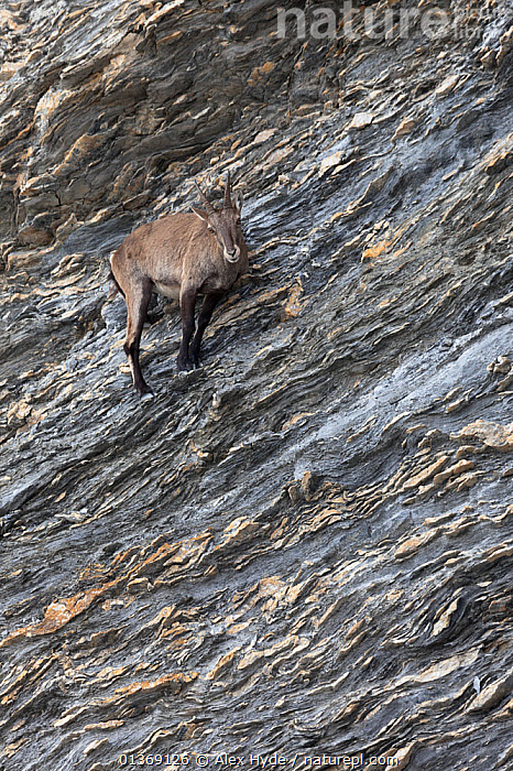 Alpine ibex (Capra ibex ibex) on steep mountainside, French Alps, France.  ,  ALPINE,ALPS,ARTIODACTYLA,BOVIDS,CLIFFS,EUROPE,FRANCE,GOATS,HABITAT,MAMMALS,MOUNTAINS,ROCKS,SLOPES,STEEP,VERTEBRATES,VERTICAL,Geology  ,  Alex Hyde