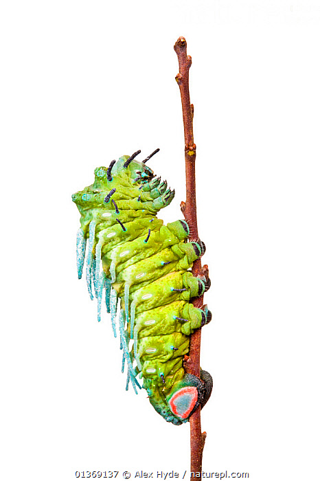 Atlas moth caterpillar (Attacus atlas) photographed against a white background, originating from Malaysia, Captive.  ,  CUTOUT,EMPEROR MOTHS,GREEN,INSECTS,INVERTEBRATES,LARVAE,LEPIDOPTERA,MACRO,MOTHS,SATURNIIDAE,STUDIO,VERTICAL,WHITE BACKGROUND  ,  Alex Hyde