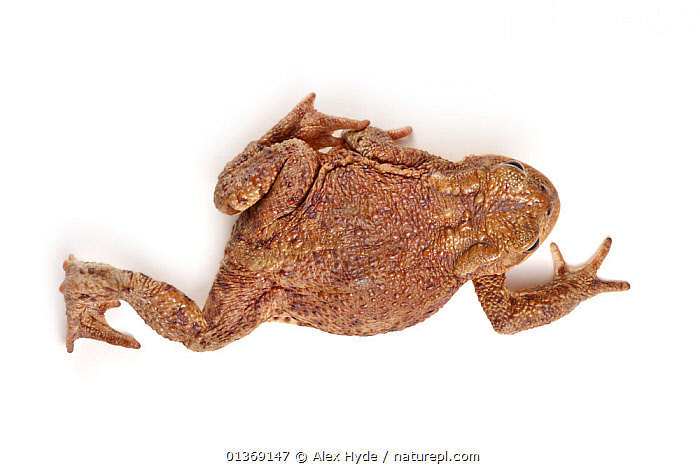 Common european toad (Bufo bufo) dorsal view, photographed on a white background, Peak District National Park, Derbyshire, UK, March.  ,  AMPHIBIANS,ANURA,CRAWLING,CUTOUT,ENGLAND,EUROPE,MOVEMENT,NP,STUDIO,TOADS,UK,VERTEBRATES,WARTY,WHITE BACKGROUND,National Park,United Kingdom  ,  Alex Hyde