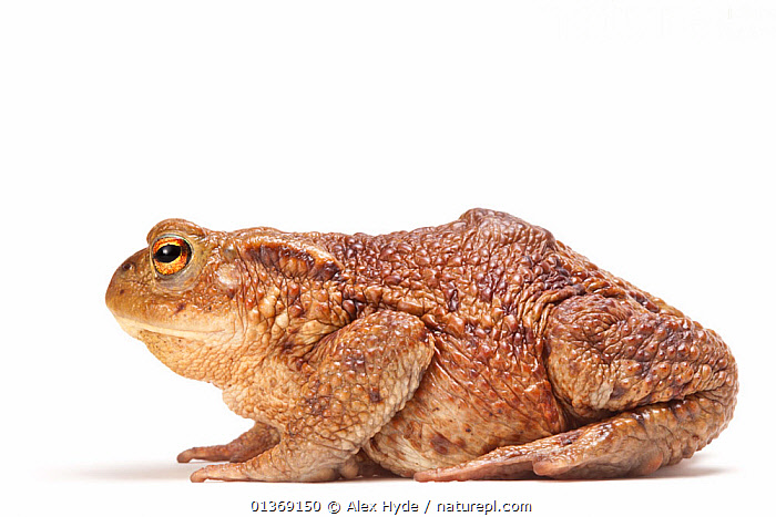 Common european toad (Bufo bufo) photographed on a white background, Peak District National Park, Derbyshire, UK, March.  ,  AMPHIBIANS,Anura,CUTOUT,ENGLAND,EUROPE,EYES,FACES,NP,PROFILE,Studio,TOADS,UK,VERTEBRATES,warty,white background,National Park,United Kingdom  ,  Alex Hyde