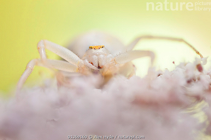 White form of goldenrod crab spider (Misumenia vatia) camouflaged on umbelliferae flowers waiting for prey, Midi-Pyrenees, France, August.  ,  ARACHNIDS,ARTHROPODS,CAMOUFLAGE,CRAB SPIDERS,CRYPTIC,EUROPE,FLOWERS,FRANCE,INVERTEBRATES,MACRO,PLANTS,SPIDERS,WHITE  ,  Alex Hyde