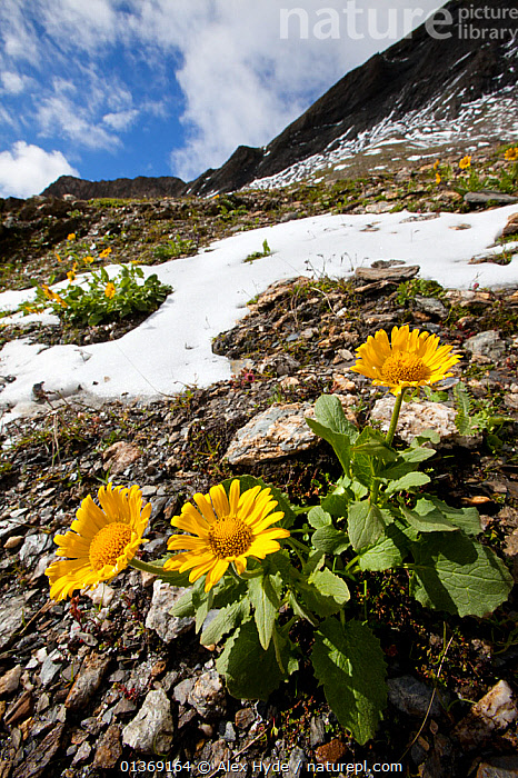 Large-flowered leopard's-bane (Doronicum grandiflorum) flowering on mountainside, French Alps, France.  ,  ALPINE,ALPS,ASTERACEAE,COMPOSITAE,DICOTYLEDONS,EUROPE,FLOWERS,FRANCE,HABITAT,LANDSCAPES,MOUNTAINS,PLANTS,SNOW,VERTICAL,WIDE ANGLE VIEW,YELLOW  ,  Alex Hyde