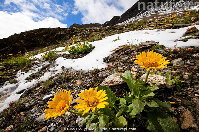 Large-flowered leopard's-bane (Doronicum grandiflorum) flowering on mountainside, French Alps, France.  ,  ALPINE,ALPS,ASTERACEAE,COMPOSITAE,DICOTYLEDONS,EUROPE,FLOWERS,FRANCE,HABITAT,LANDSCAPES,MOUNTAINS,PLANTS,SNOW,WIDE ANGLE VIEW,YELLOW  ,  Alex Hyde