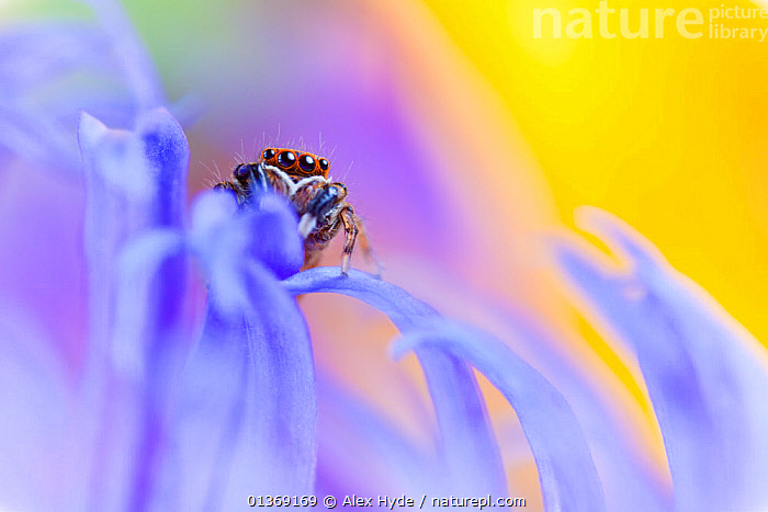 Jumping spider (Euophrys frontalis) male amongst flower petals, Peak District National Park, Derbyshire, UK, June.  ,  ARACHNIDS,arty shot,BLUE,Blurred,bright colour,catalogue4,close up,CLOSE UPS,COLOURFUL,Curious,CUTE,Derbyshire,ENGLAND,EUROPE,flower petal,front view,INVERTEBRATES,JUMPING SPIDERS,MACRO,male animal,MALES,Nobody,NP,one animal,Peak District National Park,plant part,PURPLE,shy,SMALL,SPIDERS,timid,UK,WILDLIFE,YELLOW,National Park,United Kingdom  ,  Alex Hyde