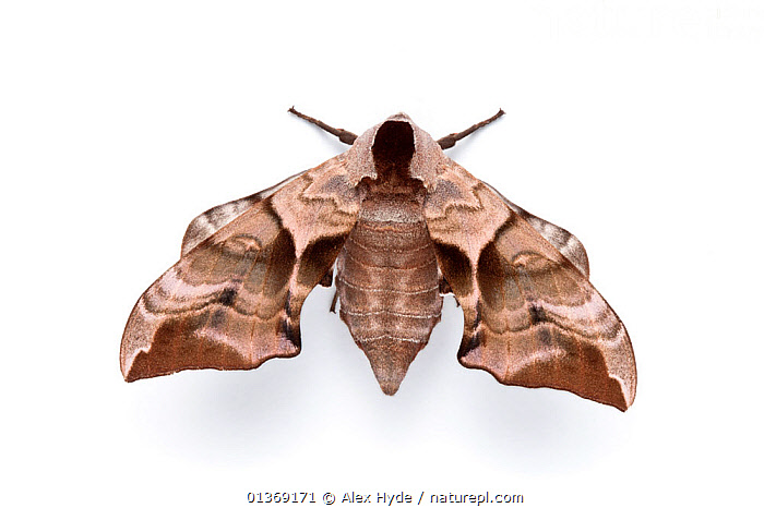 Eyed hawkmoth (Smerinthus ocellatus) photographed on a white background, Surrey, UK.  Sequence 1 of 2.  ,  CLOSE-UPS, CUTOUT, ENGLAND, EUROPE, HAWKMOTHS, INSECTS, INVERTEBRATES, LEPIDOPTERA, MACRO, MOTHS, SEQUENCE, Studio, UK, white background,United Kingdom  ,  Alex Hyde