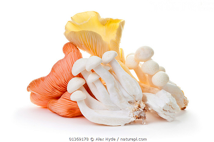 Edible mushroom species from market stall including pink and yellow Oyster Mushrooms (Pleurotus sp.) and White Beech Mushrooms (Hypsizygus tessellates)  ,  CLOSE-UPS, CUTOUT, EDIBLE, EUROPE, food, FUNGI, FUNGUS, mushrooms, PLANTS, Studio, white background  ,  Alex Hyde