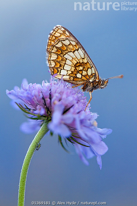 Heath fritillary (Melitaea athalia) resting on scabious flower, Nordtirol, Austrian Alps, Austria, August.  ,  ALPINE, alps, animal marking, ARTHROPODS, AUSTRIA, Austrian Alps, BLUE, BROWN, BUTTERFLIES, catalogue4, close up, CLOSE-UPS, complexity, EUROPE, flowerhead, flowering plant, FLOWERS, fragility, INSECTS, INVERTEBRATES, LEPIDOPTERA, MEADOWLAND, Nobody, Nordtirol, one animal, PURPLE, resting, Scabious, side view, SKY, VERTICAL, WILDLIFE, WINGS,Grassland  ,  Alex Hyde