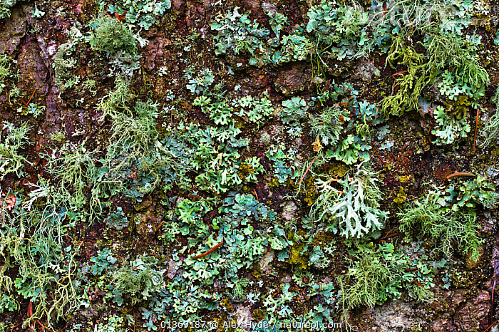 Variety of Lichens growing on tree trunk, Nordtirol, Austrian Alps, Austria, 2300 metres.  ,  ALPINE, alps, AUSTRIA, BARK, EUROPE, FORESTS, FUNGI, GREEN, LICHEN, LICHENS, PLANTS, WOODLANDS  ,  Alex Hyde