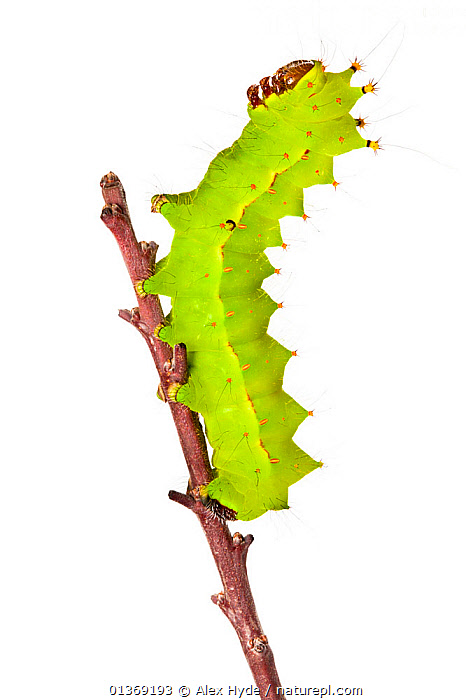 Indian moon / Indian luna moth caterpillar (Actias selene) on twig, photographed against a white background. Captive  ,  CUTOUT, GREEN, INSECTS, INVERTEBRATES, LEPIDOPTERA, MOON-MOTHS, PROFILE, Saturniidae, VERTICAL, white background  ,  Alex Hyde