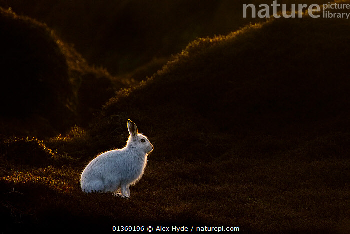 Mountain Hare (Lepus timidus) on moorland with white winter coat, Kinder Scout, Peak District National Park, Derbyshire, UK, February.  ,  alert,backlit,catalogue4,contrasts,dark,Derbyshire,ENGLAND,EUROPE,HARES,Kinder Scout,lagomorphs,MAMMALS,MOORLAND,national park,negative space,Nobody,NP,one animal,Peak District,PORTRAITS,PROFILE,Rabbit,Scenic,side view,sunlight,UK,VERTEBRATES,watchful,WHITE,white colour,WILDLIFE,United Kingdom  ,  Alex Hyde