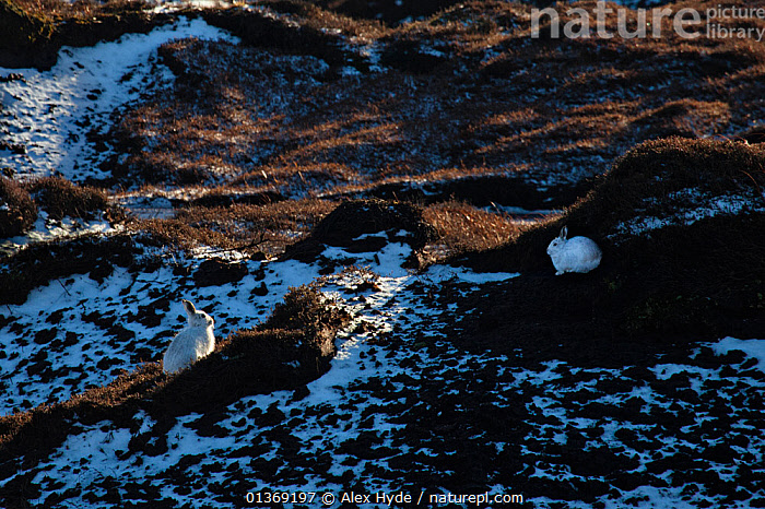 Pair of mountain hares (Lepus timidus) with white winter coats camouflaged amongst patchy snow, Kinder Scout, Peak District National Park, Derbyshire, UK, February.  ,  CAMOUFLAGE,ENGLAND,EUROPE,HARES,ICE,LAGOMORPHS,MAMMALS,MOORLAND,NP,PAIR,SNOW,TWO,UK,VERTEBRATES,WHITE,National Park,United Kingdom  ,  Alex Hyde