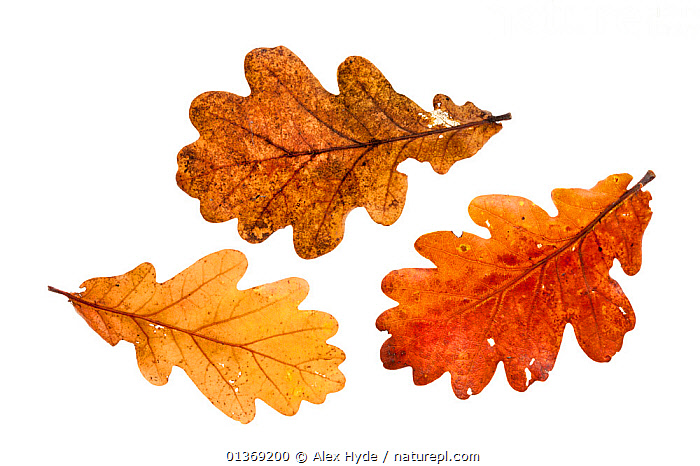 English Oak leaves (Quercus robur) photographed on a white background, Peak District National Park, Derbyshire, UK, October.  ,  AUTUMN,BROWN,COLOURFUL,CUTOUT,DICOTYLEDONS,ENGLAND,EUROPE,FAGACEAE,LEAVES,NP,PLANTS,STUDIO,THREE,UK,WHITE BACKGROUND,YELLOW,National Park,United Kingdom  ,  Alex Hyde