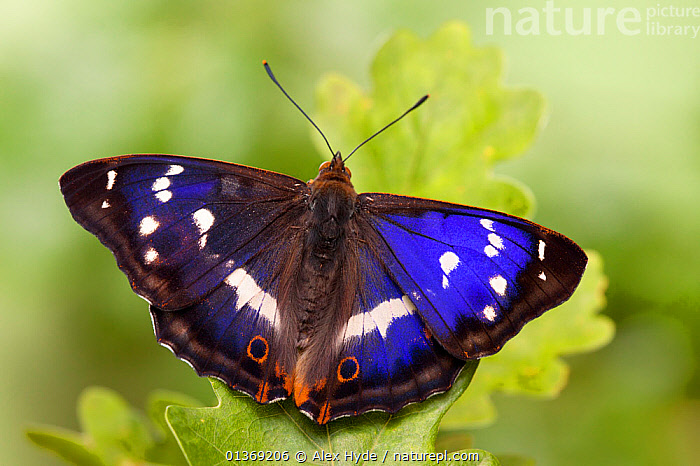 Purple emperor butterfly (Apatura iris) male on English Oak (Quercus robur) leaf basking with wings open, UK, Captive.  ,  ARTHROPODS,BASKING,BUTTERFLIES,CLOSE UPS,COLOURFUL,CUTOUT,DICOTYLEDONS,FAGACEAE,INSECTS,INVERTEBRATES,IRIDESCENT,LEAVES,LEPIDOPTERA,MACRO,MALES,PLANTS,PURPLE,WINGS,Europe,United Kingdom  ,  Alex Hyde