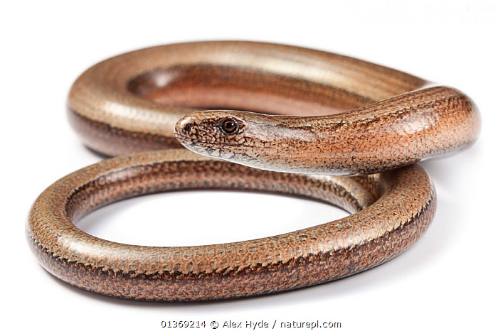 Slow worm (Anguis fragilis) photographed on a white background, Midi-Pyrenees, France, August.  ,  ANGUID LIZARDS,BROWN,COILED,CUTOUT,EUROPE,FRANCE,LIZARDS,PORTRAITS,PROFILE,REPTILES,STUDIO,VERTEBRATES,WHITE BACKGROUND,,Lizards,,,Lizards,  ,  Alex Hyde