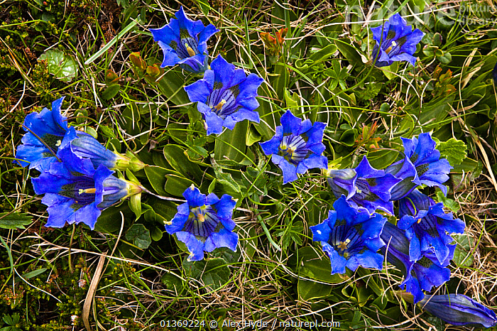 Trumpet / Stemless gentian (Gentiana acaulis) in flower on mountainside, Nordtirol, Austrian Alps, 2300 metres, June.  ,  ALPINE,ALPS,AUSTRIA,BLUE,DICOTYLEDONS,EUROPE,FLOWERS,GENTIANACEAE,PLANTS  ,  Alex Hyde