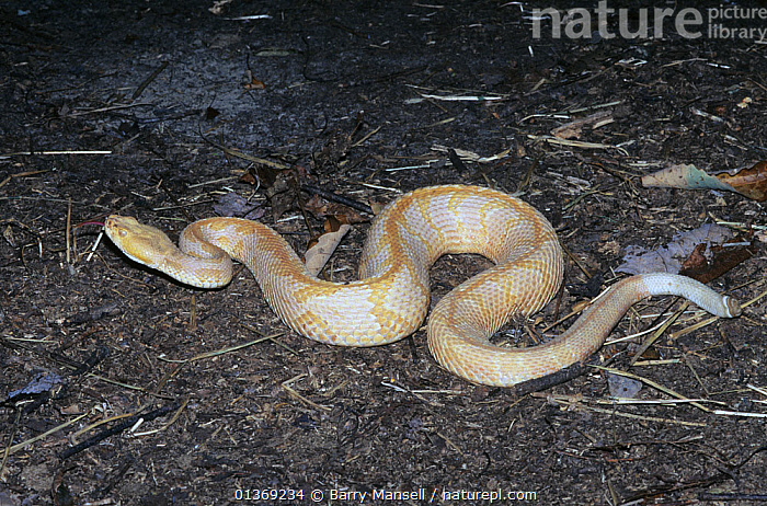 Albino Timber rattlesnake (Crotalus horridus) North Georgia, USA  ,  ALBINO,COLOUR,POISONOUS,REPTILES,SNAKES,USA,VENOMOUS,VERTEBRATES,VIPERIDAE,VIPERS,North America  ,  Barry Mansell