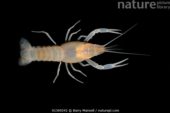 Coastal lowland Cave crayfish (Procambarus leitheuseri) Crystal Springs Beach, Florida, USA  ,  CAVES,CRAYFISH,CRUSTACEANS,CUTOUT,FRESHWATER,HIGH ANGLE SHOT,INVERTEBRATES,PROCAMBARIDAE,TEMPERATE,UNDERWATER,USA,North America  ,  Barry Mansell
