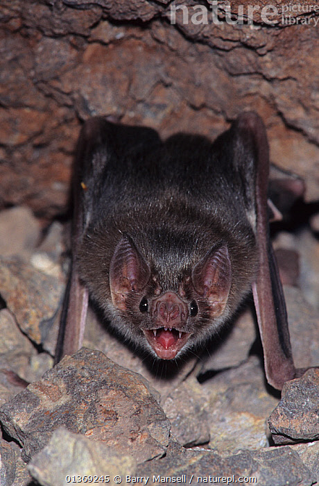 Common vampire bat (Desmodus rotundus) at roost, Sonora, Mexico  ,  BATS,CAVES,CENTRAL AMERICA,CHIROPTERA,MAMMALS,PORTRAITS,VERTEBRATES,VERTICAL  ,  Barry Mansell