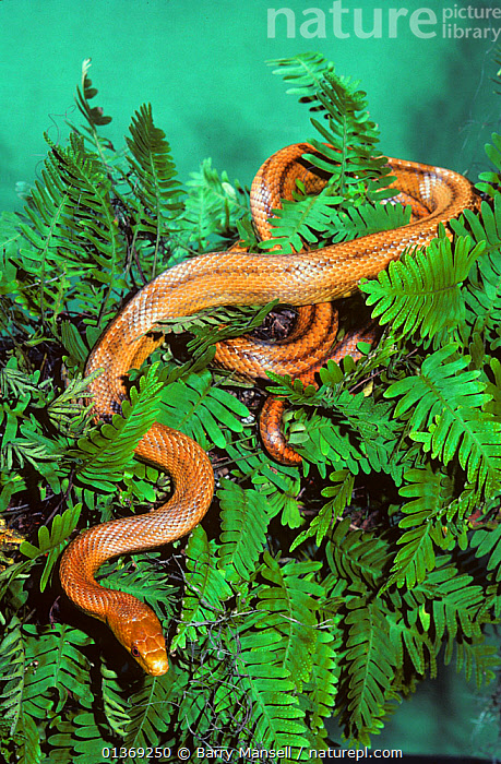 Everglades ratsnake (Elaphe obsoleta rossalleni) Everglades, South Florida, USA  ,  COLUBRIDS, FERNS, REPTILES, SNAKES, USA, VERTEBRATES, VERTICAL,Plants,North America,Muridae,Rodents  ,  Barry Mansell